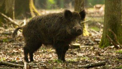 PSA Sardegna prolungare il periodo di caccia al cinghiale