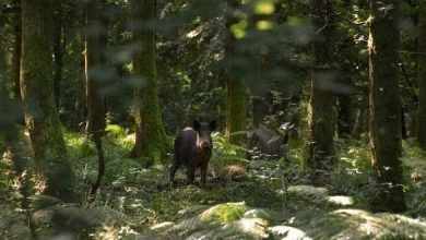Squadre toscane di caccia Toscana caccia di selezione al cinghiale