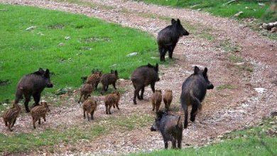 """Photo of Animalisti censiscono i cinghiali nel Parco dei Colli Euganei. Berlato: """"Iniziativa esilarante"""""""