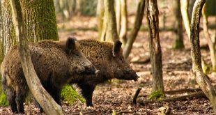 protesta delle squadre di caccia al cinghiale