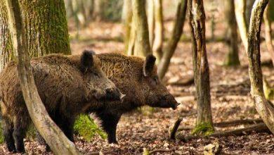 Photo of Molise approvato il regolamento per la caccia di selezione