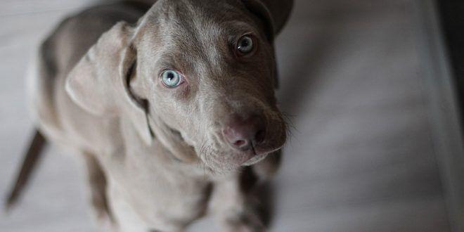 cucciolo di cane da caccia