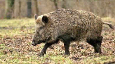 Photo of Nuove direttive per la caccia al cinghiale in Basilicata