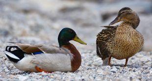 Utilizzo richiami vivi acquatici: nuove disposizioni dal Ministero