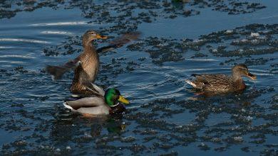 """Photo of Influenza aviaria, FACE: """"I cacciatori devono rimanere vigili"""""""