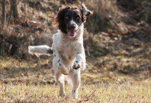 Photo of Prepariamo il nostro cane all'inizio della stagione venatoria