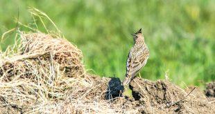 """Gli uccelli stanno scomparendo dalle campagne ad una """"velocità vertiginosa"""". Colpa delle pratiche agricole"""