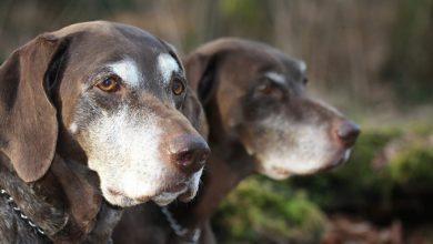 cane da caccia anziano