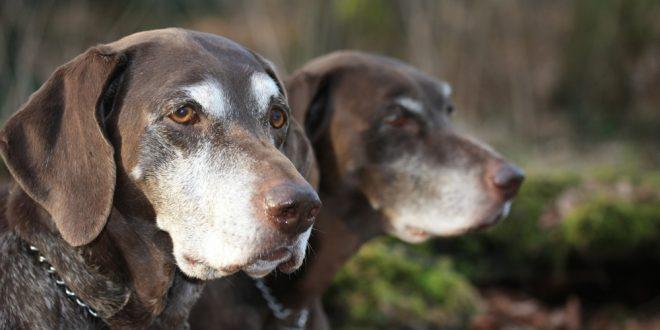 Il cane da caccia anziano: prendiamocene cura