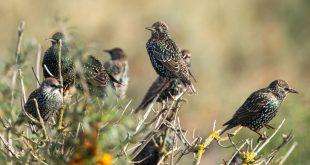 Dalla Commissione Ambiente UE segnali positivi per la caccia in deroga allo Storno
