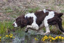 cani per la caccia ai rallidi