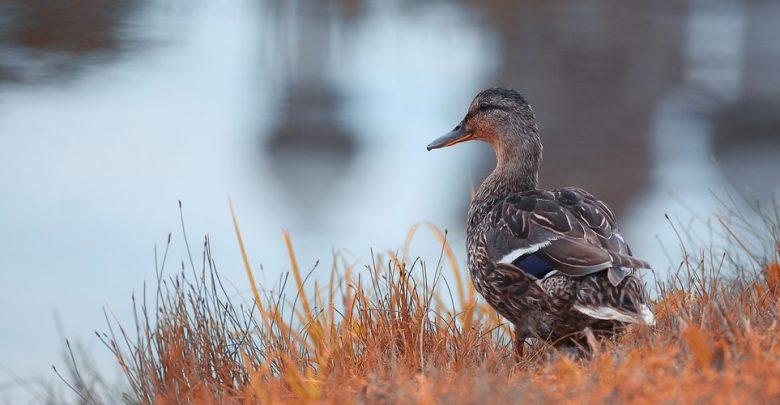 Richiami vivi e influenza aviaria