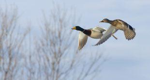 Influenza aviaria, richiami vivi e ripopolamenti: modificate le norme europee