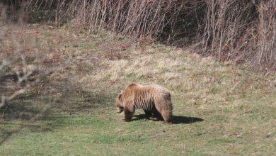 Tre orsi d'Abruzzo annegati
