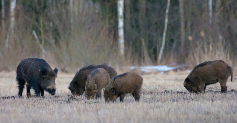 caccia cinghiale piemonte foraggiamento dei cinghiali
