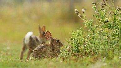 Censimenti coniglio selvatico