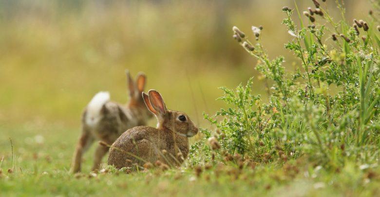 Sardegna coniglio Censimenti coniglio selvatico
