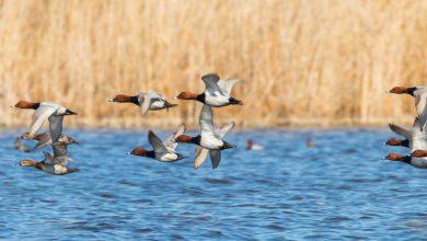 Photo of Pavoncella e Moriglione: il MATTM torna a chiedere il divieto di caccia, ma latita sui Piani di conservazione