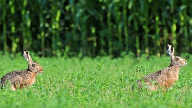 Photo of La lepre: ambiente, alimentazione e gestione dell'habitat