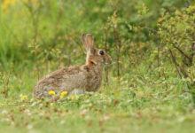 Sicilia caccia coniglio