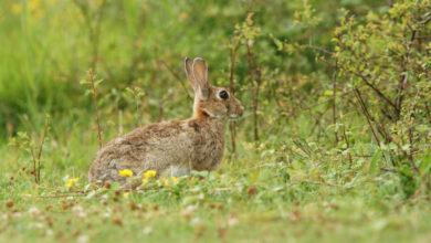 Photo of Sicilia, dal 1° ottobre può ripartire la caccia al coniglio